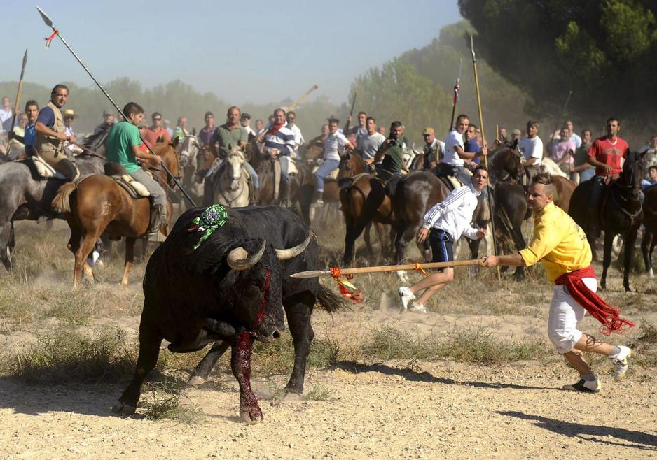 """Un juez considera que la celebración del Toro de la Vega 2014 fue """"ilegal"""""""
