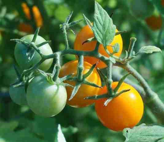 tomate al sol