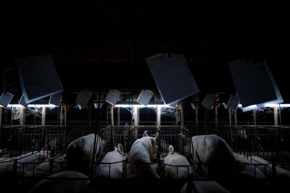 Los cerdos apenas disponen de espacio en las jaulas de las granjas porcinas. /  AITOR GARMENDIA