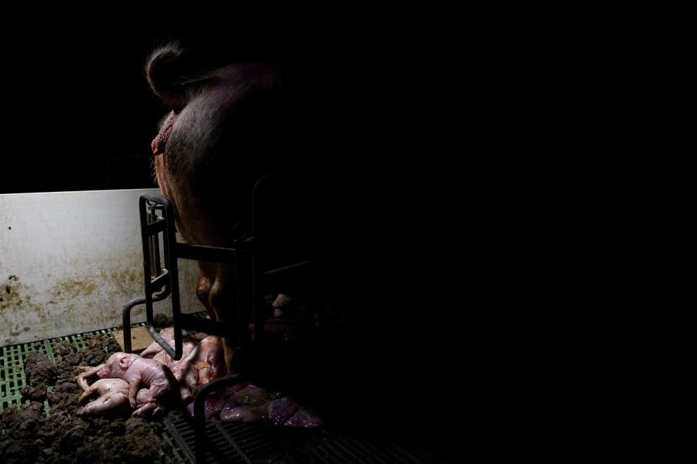 Ha registrado el maltrato a los animales tras acceder junto a otros activistas a más de 30 granjas porcinas. /  AITOR GARMENDIA