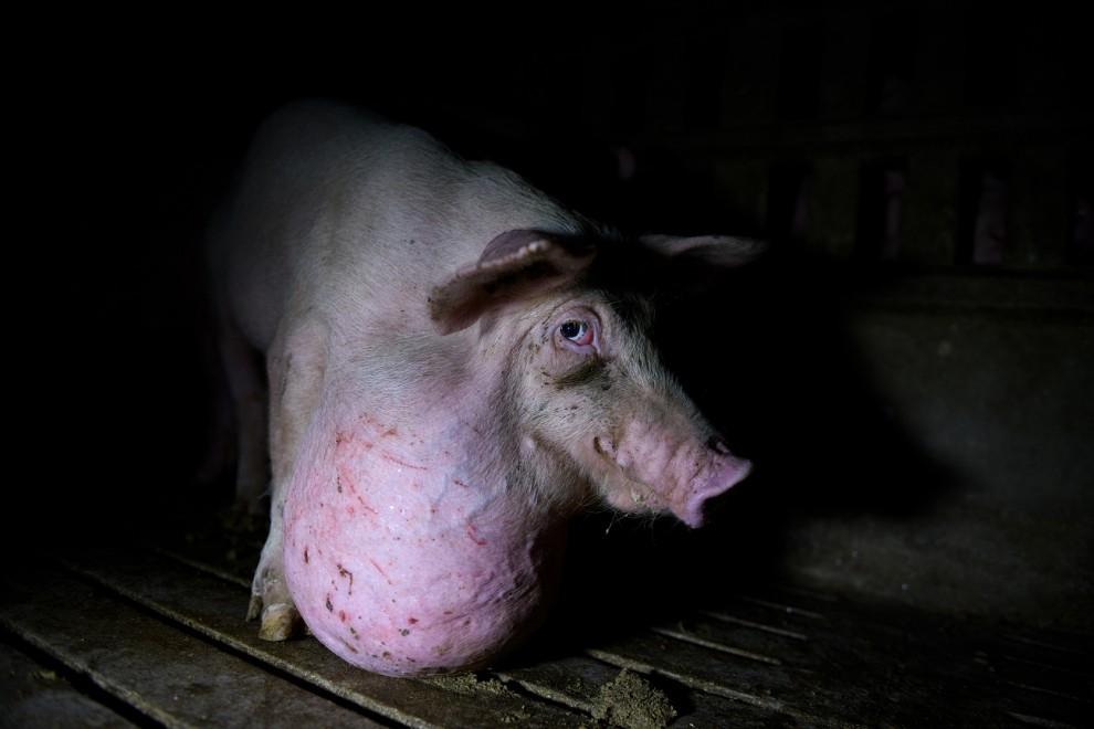 Un cerdo con una malformación en una granja española. / AITOR GARMENDIA