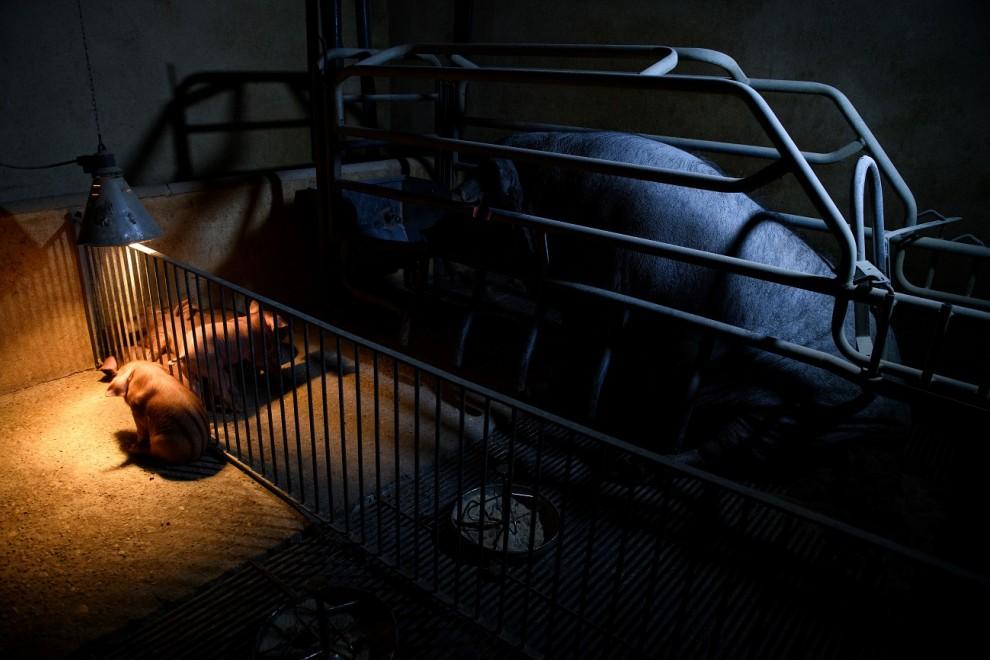 No es la primera vez que Aitor Garmendia muestra el horror de las granjas españolas. / AITOR GARMENDIA