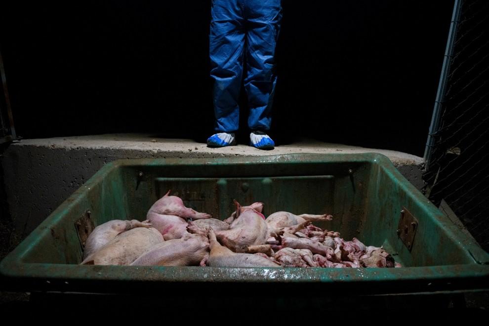 Cadáveres de lechones en un contenedor de una granja porcina. / AITOR GARMENDIA