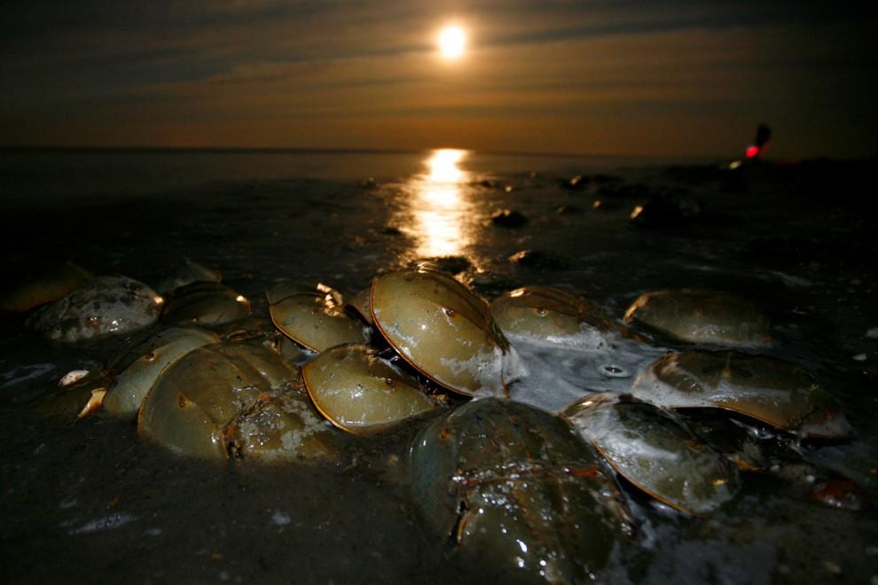 Miles de cangrejos de herradura del Atlántico llegan a tierra para desovar y poner sus huevos en la playa Pickering, un santuario nacional de cangrejo herradura cerca de Little Creek, Delaware.- REUTERS