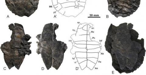 Descubren en Teruel el fósil de una nueva especie de tortuga de agua dulce. /FUNDACIÓN DINÓPOLIS