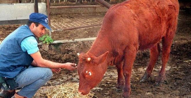 Un ejemplar de vaca bermeja de color rojizo. - AFP
