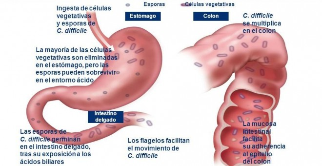 Ciclo de infección po Clostridium difficile