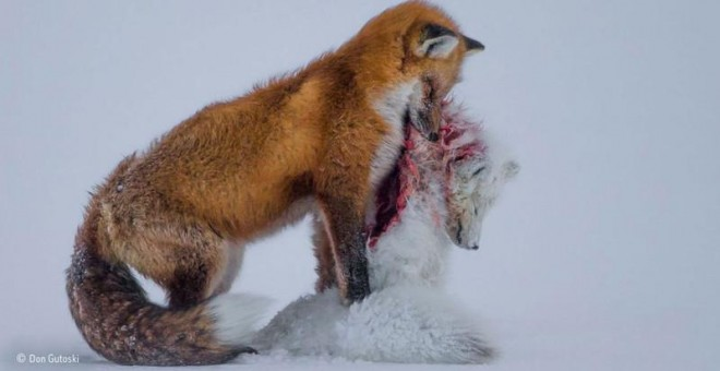 'Historia de dos zorros', ganadora del Wildlife Photographer of the Year 2015. /DON GUTOSKI