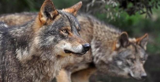 Ejemplar de lobo ibérico. EFE