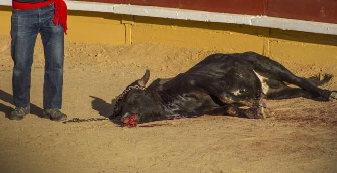 Imagen documentada por PACMA de uno de los becerros asesinados en los festejos celebrados en Cercedilla, Madrid. PACMA