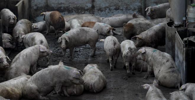 Granja industrial de Cerdos.AFP/Josep Lago