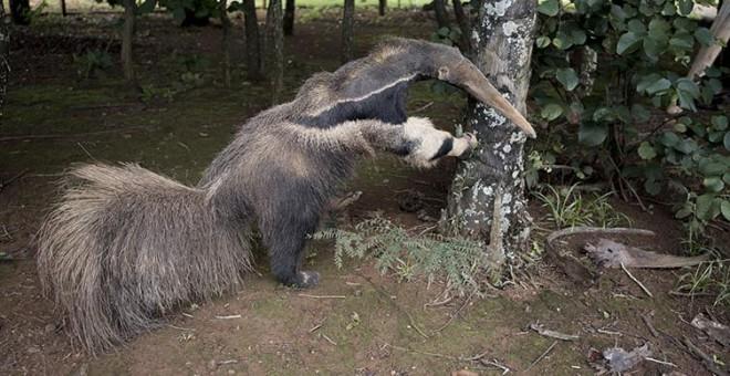 El oso hormiguero disecado que puede verse en el centro de interpretación del Parque Nacional de las Emas.