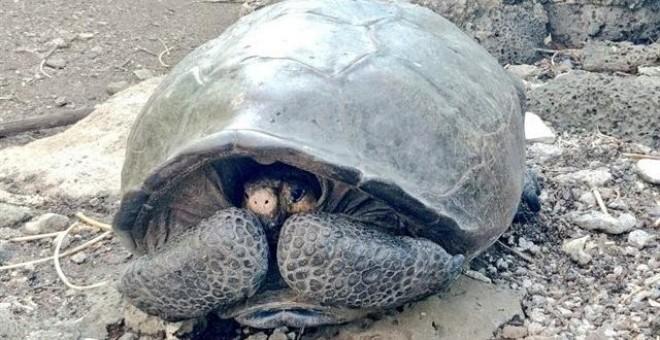Ejemplar de una especie de tortuga gigante que se consideraba extinta. / TWITTER - MARCELO MATA