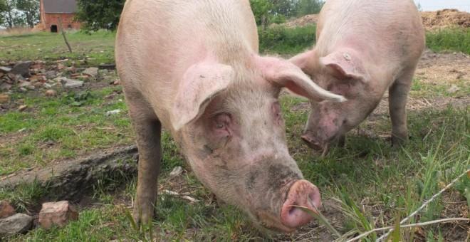 La ganadería familiar del porcino está sucumbiendo ante el avance de las macrogranjas y la industrialización del sector | PxHere