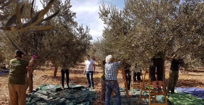 Voluntarios internacionales participando en la cosecha de la oliva en Cisjordania./ATG