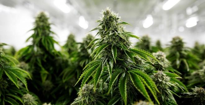 el-cultivo-de-cannabis-para-uso-medicinal-todavía-se-regula-con-una-ley-de-franco