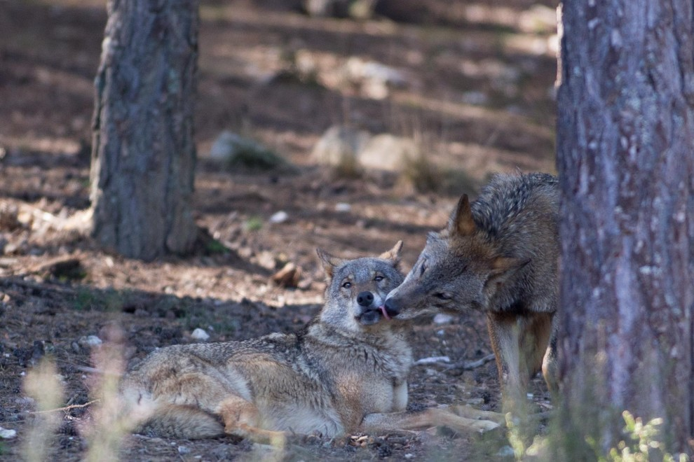 Dos lobos ibéricos del Centro del Lobo Ibérico en localidad de Robledo de Sanabria, en plena Sierra de la Culebra (Zamora). / Carlos Castro - EUROPA PRESS