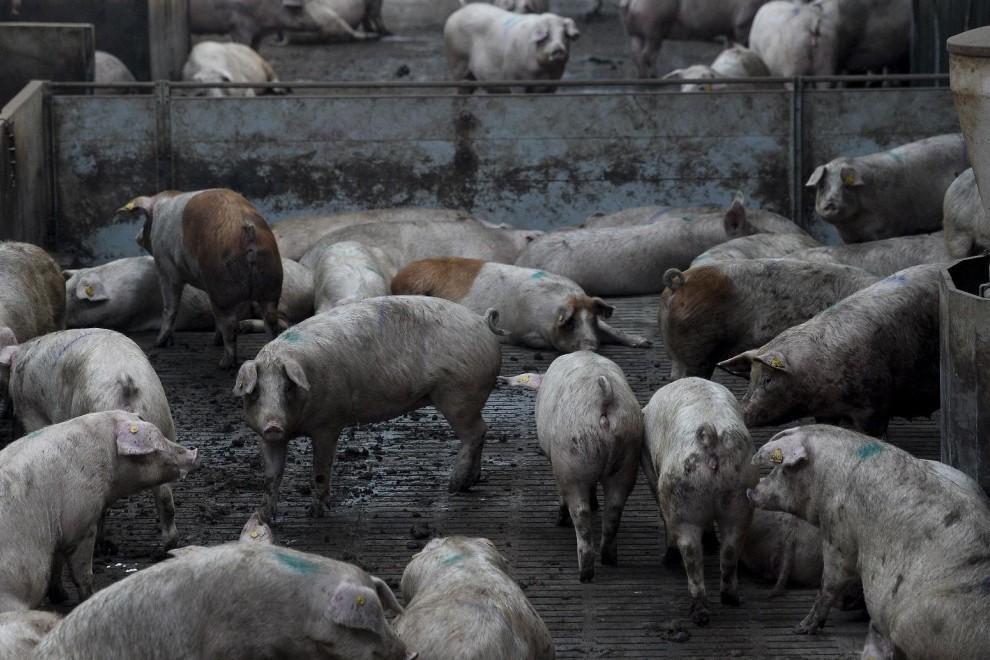 Granja industrial de Cerdos.