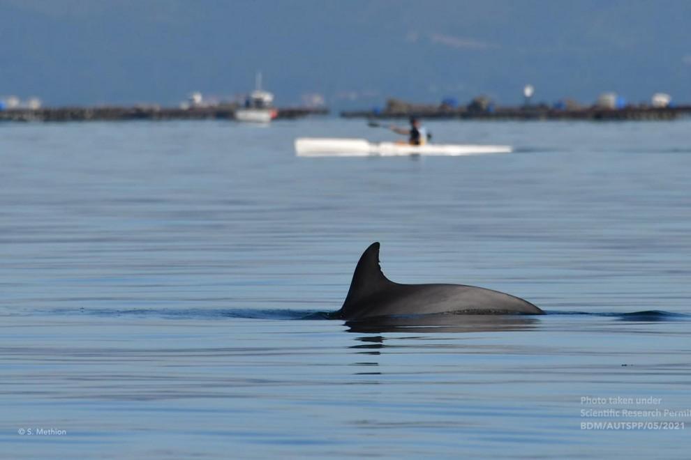 Las ballenas azules, gigantes del mar, vuelven a Galicia