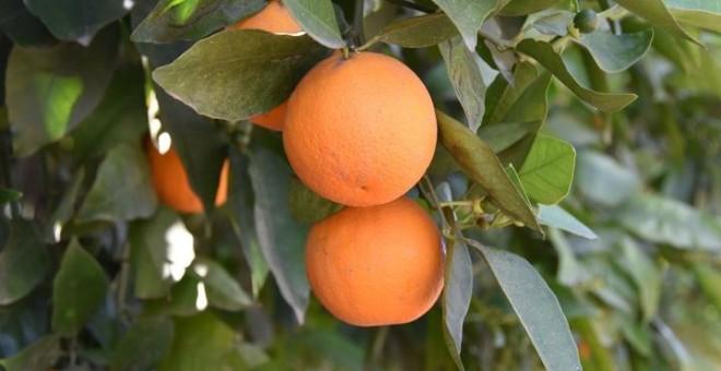 Agricultores de Valencia cobran cien euros por 7.000 kilos de naranjas