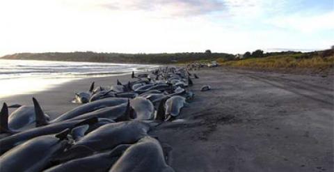 200 Ballenas Quedan Varadas En Australia