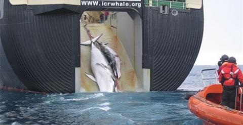 La caza industrial ha exterminado a casi 3 millones de ballenas
