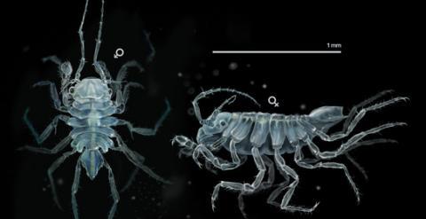 Uromunna naherba es un crustáceo de poco más de un milímetro que vive en hierbas submarinas. / José Antonio Peñas-Sinc