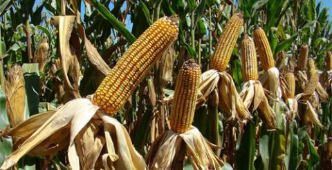El maíz es una de las variedades de transgénicos autorizadas en la UE.
