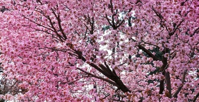 Flores De Cerezo Para El Renacer De Nuestro Planeta Público