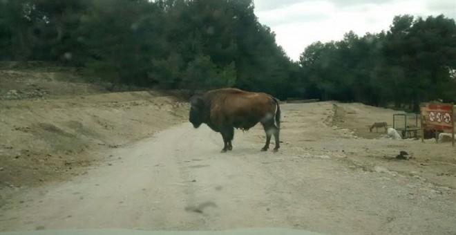 Un hombre muere al ser embestido por un búfalo en un safari en Penà...