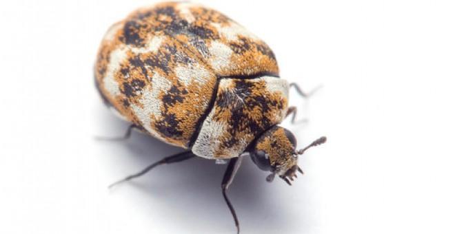 escarabajos Anthrenus flavipes