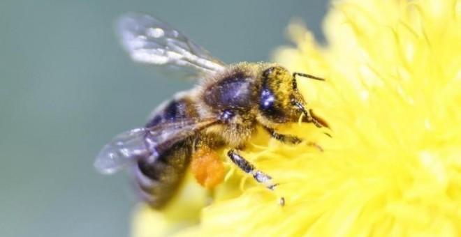 Una abeja recolecta néctar de una flor. REUTERS