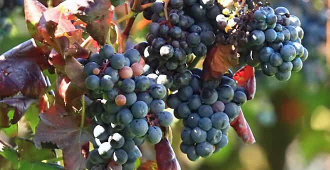 Uva en un viñedo, esperando a la vendimia.