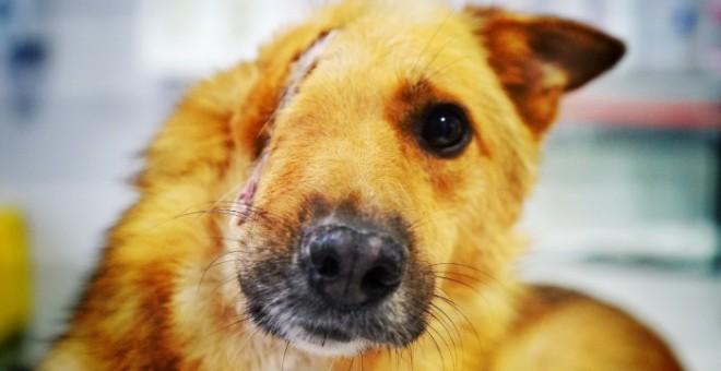 Sky, el perro al que le partieron el cráneo en dos con una pala./Let´s Adopt International