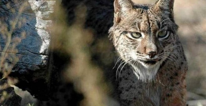 Lince ibérico de Doñana /EUROPA PRESS