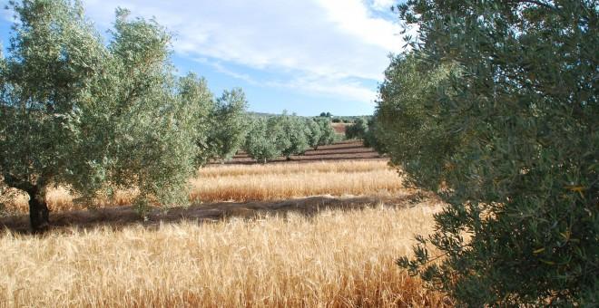 Cultivo de cebada en un olivar de Jaén./HEINEKEN ESPAÑA
