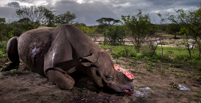 'Monumento a una especie' es la fotografía ganadora del certamen Wildlife Photographer of the Year. BRENT STIRTON