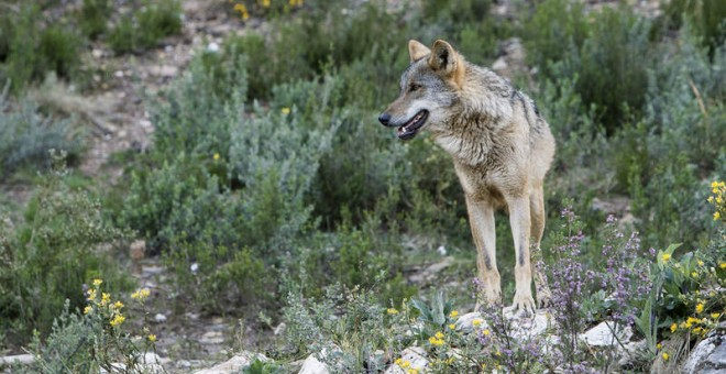 El lobo ibérico se recupera y alcanza las 297 manadas, según el último censo