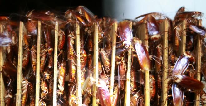 Cucarachas entre los cartones de una granja operada por la compañía farmacéutica Gooddoctor en Xichang, provincia de Sichuan, China. REUTERS / Thomas Suen