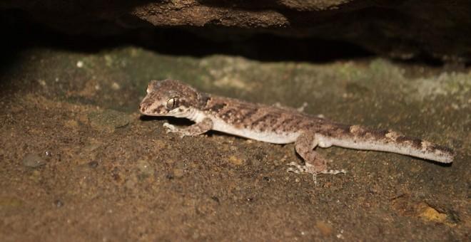 Gecko de Durrell