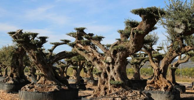 Grup d'oliveres mil·lenàries a les Terres de l'Ebre. GEPEC