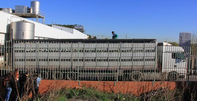 Un trabajador del matadero de Getafe trata de descargar un camión de cerdos./ Alejandro Tena