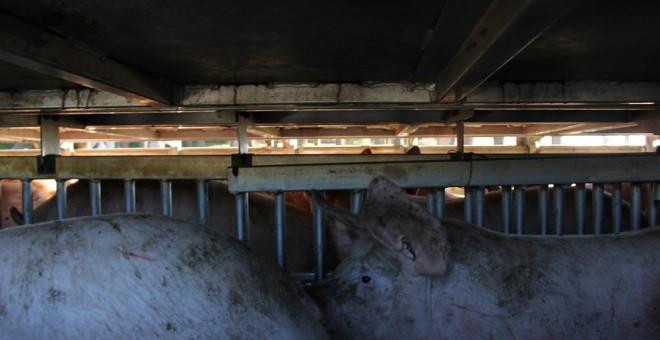 Vista de los cerdos en el interior del camión./ Alejandro Tena