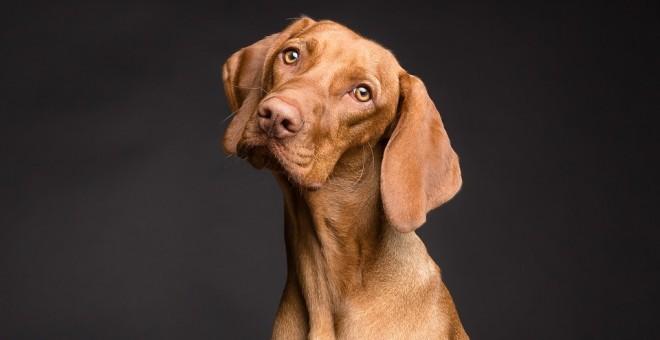 Al levantar la parte interior de la ceja, los ojos del perro parecen más grandes y adoptan una apariencia infantil y triste. / Pixabay