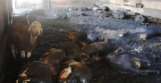 Ovejas abrasadas y una superviviente en una granja afectada por el incendio forestal que quema desde la tarde de ayer en varios términos municipales de la comarca tarraconense de Ribera d'Ebre, y que sigue descontrolado y afecta ya a más de 4.000 hectárea