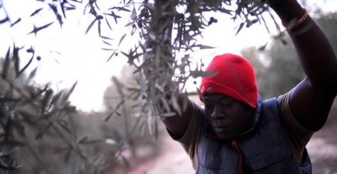 Un temporero de origen africano recoge aceitunas en el campo cordobés. Foto: EFE/Rafa Alcaide