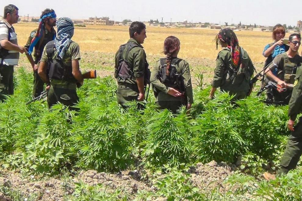 Milicianos de las SDF hallan una plantación de marihuana en un cultivo de la Administración Autónoma del Norte y el Este de Siria.