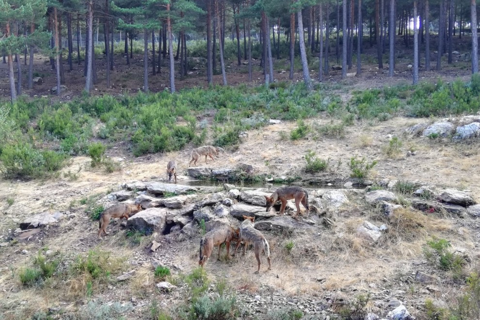 Lobos de Sanabria