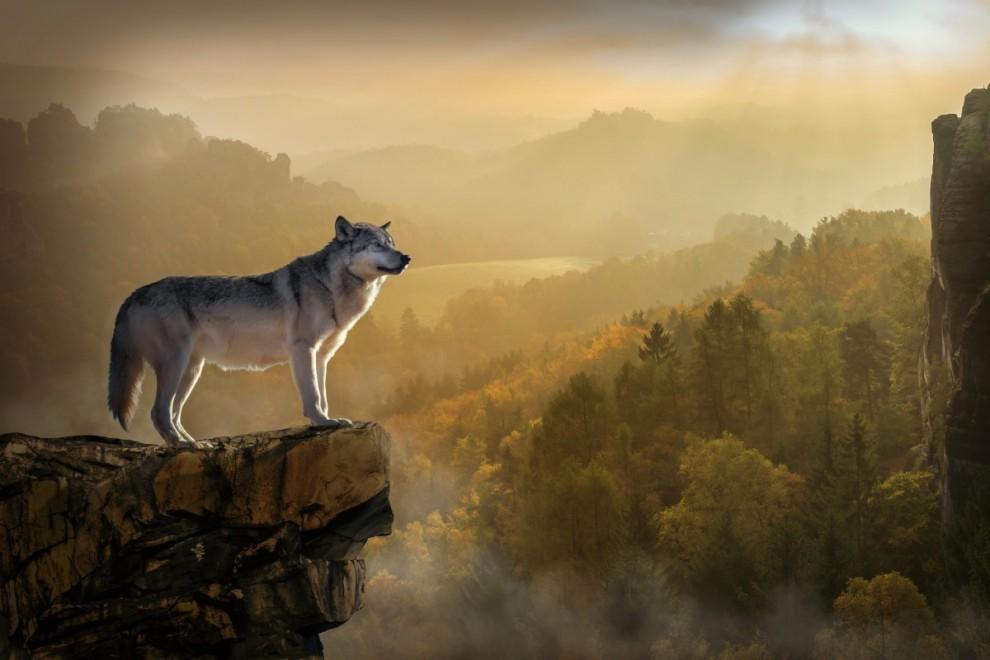 El lobo podrá seguir siendo cazado en Asturias, Cantabria, Castilla y León, Galicia y La Rioja / PXHERE