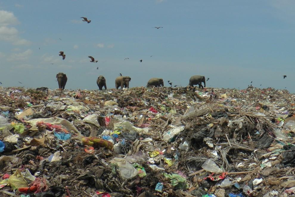 Elefantes salvajes en un vertedero de basura cerca de la ciudad de Ampara en Sri Lanka, 4 de octubre de 2020.
